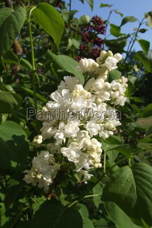 branco lilas