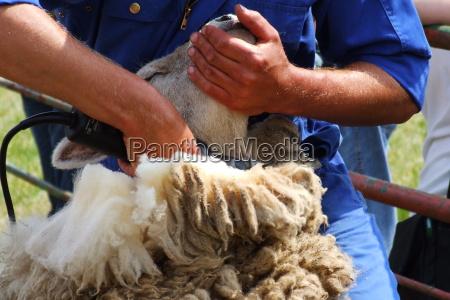 tosquia de ovelhas 1