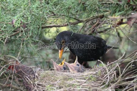 blackbird feeds her little ones