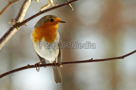 robin singvoegelsingvogelvogel