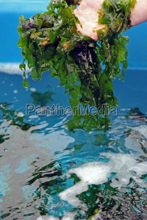 cultura da alface do mar ulva
