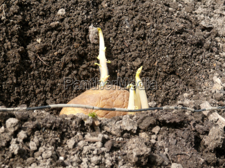 agriculture potatoes potato germing potatoe pflanzkartoffel