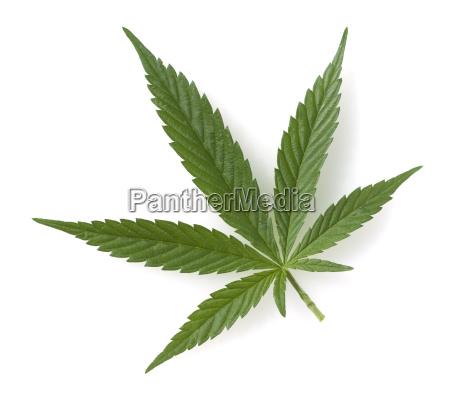 hanf cannabis sativa hanfblaetter
