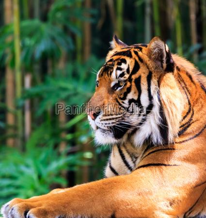gato tigre bengala sumatran