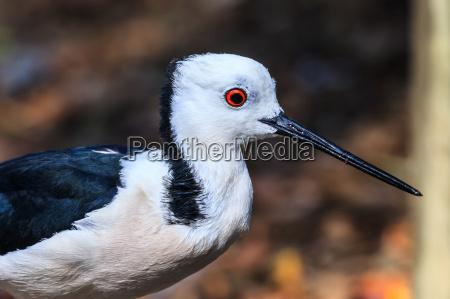 voo passaro selvagem negro australia primavera