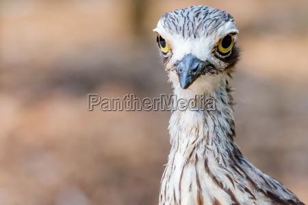 passaro brush stone curlew