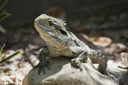 monitor lizard goanna varanus captive australia