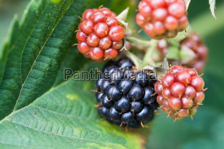 blackberries on leaf close up in